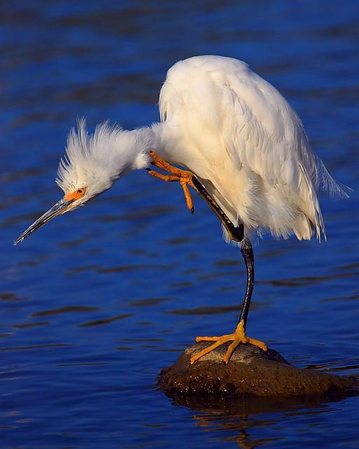 IMG_8736 Snowy Egret