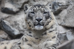 animal(1.0), snow leopard(1.0), big cats(1.0), leopard(1.0), tiger(1.0), mammal(1.0), fauna(1.0), close-up(1.0), wildlife(1.0),