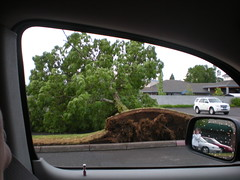 Tipped tree in the Borders parking lot