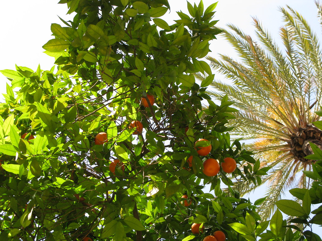 Naranjas bajo la palmera.