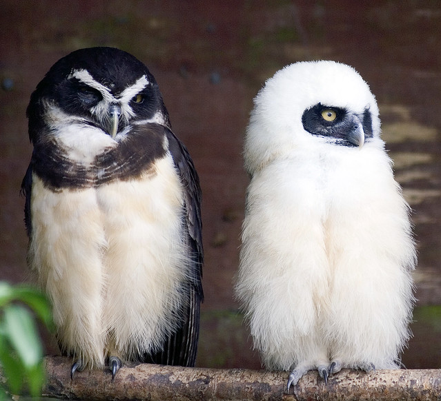 Spectacled Owl Mother & Baby
