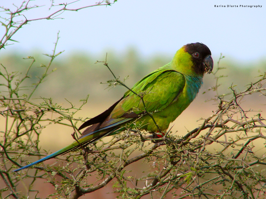 Ñanday / Black-hooded Parakeet