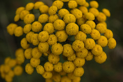 pollen, flower, yellow, plant, macro photography, flora, produce, common tansy,