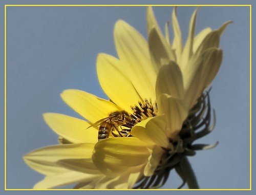Wild sunflower with honey bee cropped