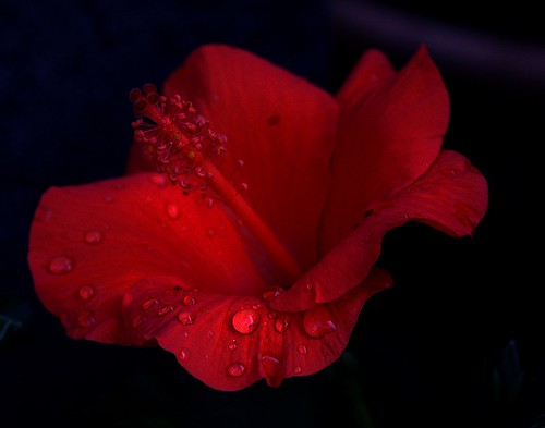 Larmes d'hibiscus - Hibiscus drops
