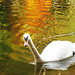 Swan (Cygnini) in Autumn Reflections - Adelberg, Herrenbach Artificial Lake, Germany