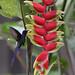 Série com o Beija-flor Tesoura (Eupetomena macroura) - Series with the Swallow-tailed Hummingbird - 07-11-2009 - IMG_1793 by Flávio Cruvinel Brandão