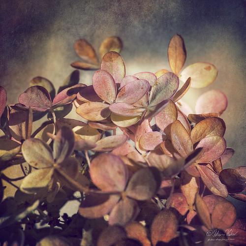 autumn stilllife flower fall flora bloom hydrangeas withering hydrangeaarborescens magicunicornverybest theendofbeauty