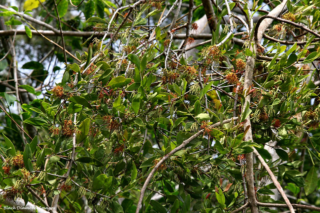 Amyema congener subsp. congener - Variable Mistletoe