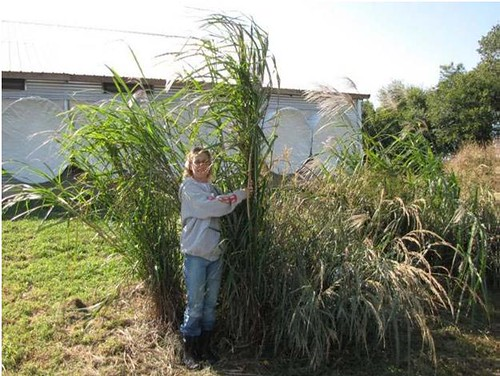 This photo shows giant miscanthus (measuring seven feet tall). Photo courtesy of NRCS
