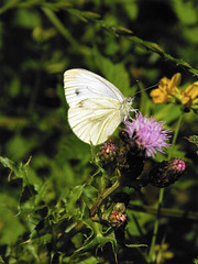 arthropod, pollinator, animal, moths and butterflies, butterfly, flower, leaf, plant, nature, invertebrate, wildflower, flora, fauna, cabbage butterfly, meadow,