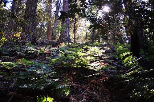trees nature forest outdoors ferns palomarmountain doanevalley