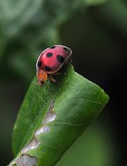 Ladybug looking