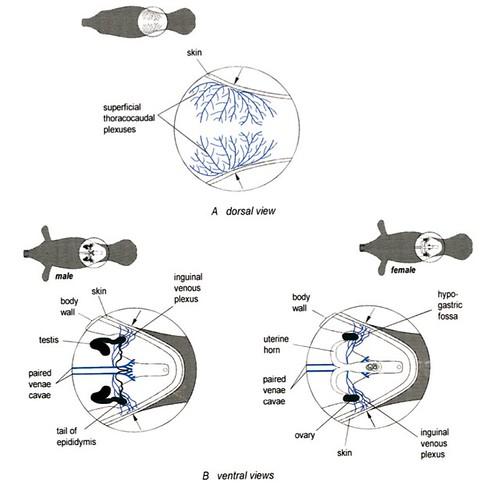 fish reproductive anatomy diagram