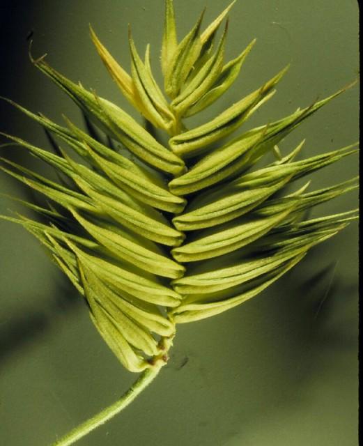 Header of Eremopyrum