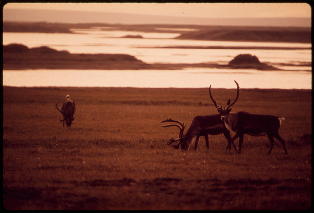 Caribou Graze near the Sagavanirktok River, Eight Miles East of the North Slope Site Where the Alaska Pipeline Will Start. The Pipeline Will Follow the Sag River South for the First 100 Miles Gravel From Riverbeds Will Be Used for Pipeline Bed and Road 08/1973 by Dennis Cowals.