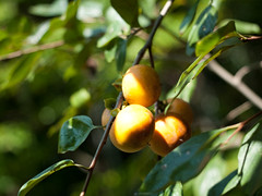 evergreen, citrus, branch, leaf, tree, common persimmon, macro photography, flora, green, fruit,