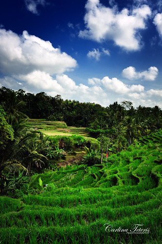 blue sky bali green field clouds indonesia rice paddy terrace ohwell 2470mm28 nikond700 itsnotreallyaboutthericemoreaboutthemudd nowthisisthecolourimtalkingabout mmmmoversaturatedcolourfulgoodness actuallyriceisprettymuchthenicestshadeofgreenoutthereevenbeforeigettoitinpp myotherricepaddyshotslooklikecrapthough andidontreallyknowwhattodoaboutit itsnotreallyaboutthericewhenthatmuchmudisaroundanyways