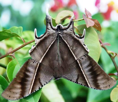 moth lyssazampa aizawl mizoram greysunsetmoth northeastner