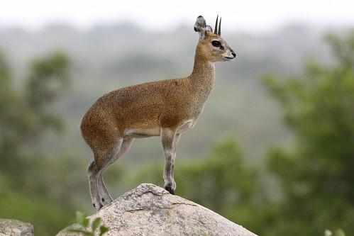Klipspringer, Oreotragus oreotragus