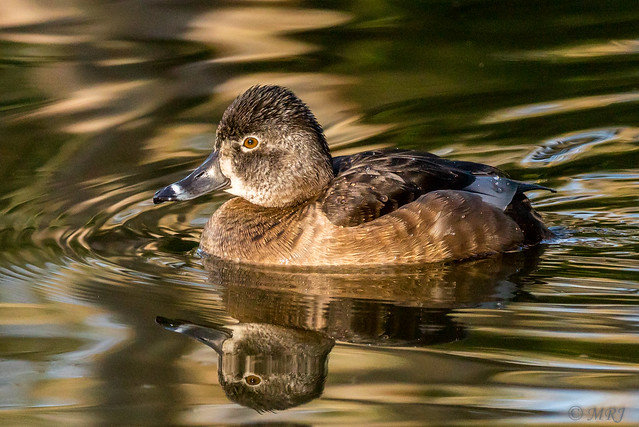 Reflecting Ring Necked-Duck