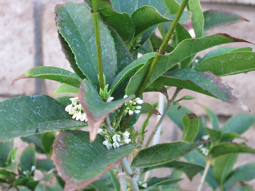 桂花Osmanthus fragrans