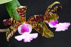 Cattleya aclandiae close