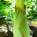 Small photo of Titan Arum