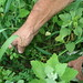 Small photo of Alfalfa