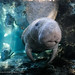 Manatee_In_Light_19