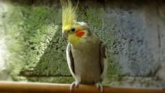 animal, yellow, wing, pet, fauna, close-up, cockatiel, beak, bird, wildlife,