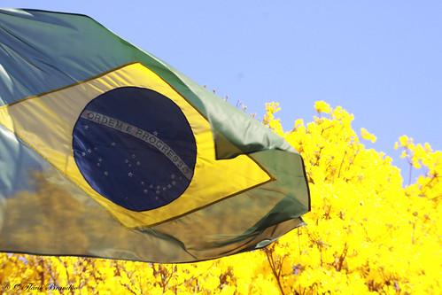 brazil naturaleza nature brasília bandeira brasil cores season flag natureza flags series cor série temporada bandeiras brazilianflag tabebuia ipêamarelo bandeirabrasileira séries tabebuiachrysotricha temporadas ipêsamarelos bandeiranacional chrysotricha fláviobrandão