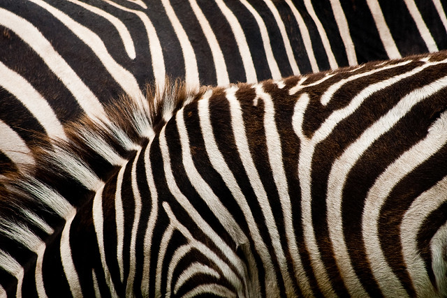 zebra, pattern