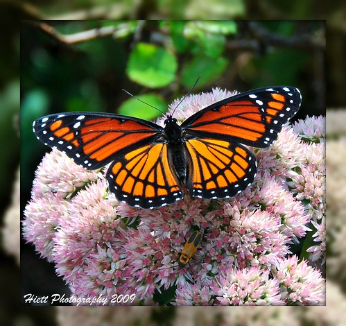 pink flowers orange black nature butterfly insect nikon colorful missouri monarch arkansas branson picnik viceroy fayetteville d300 migrate goldenrodsoldierbeetle 18200vr mygearandmepremium mygearandmebronze mygearandmesilver mygearandmegold mygearandmeplatinum mygearandmediamond