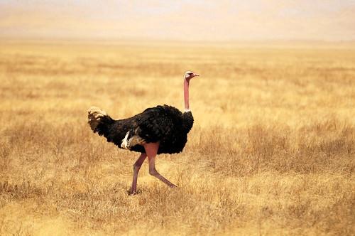 無料写真素材, 動物 , 鳥類, ダチョウ