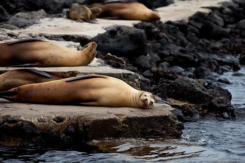 加拉巴哥群島上的海豹。(圖:Peri Apex)