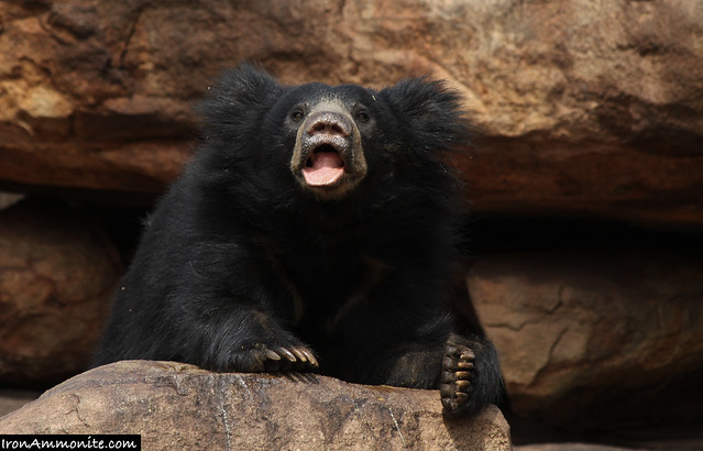 Sloth Bear sniffing for food