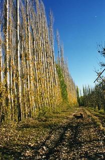 Lombardy Poplars in Contralmirante Cordero
