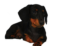 dog breed(1.0), animal(1.0), hound(1.0), dog(1.0), german pinscher(1.0), manchester terrier(1.0), dobermann(1.0), pet(1.0), mammal(1.0), transylvanian hound(1.0), dachshund(1.0), austrian black and tan hound(1.0), polish hunting dog(1.0), black and tan coonhound(1.0),