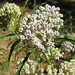 Narrowleaf Milkweed - Photo (c) randomtruth, some rights reserved (CC BY-NC-SA)
