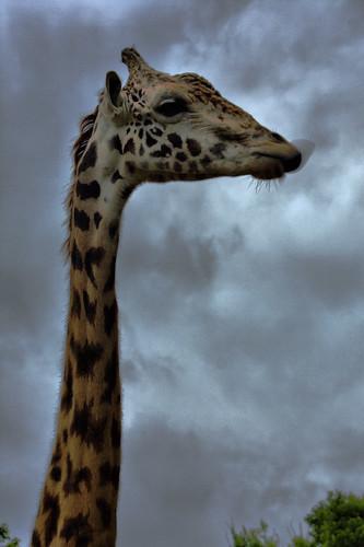 sky tongue zoo texas houston lick giraffe jimihendrix purplehaze 42609 img4338 dynamicphotohdr canonef75300mmkit