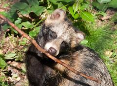 raccoon(0.0), virginia opossum(0.0), common opossum(0.0), animal(1.0), mammal(1.0), fauna(1.0), viverridae(1.0), procyonidae(1.0), wildlife(1.0),