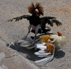 Gallos de pelea - fighting cocks; El Sauce, León, Nicaragua