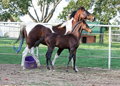 animal sports, animal, mane, mare, stallion, colt, equestrian sport, pack animal, horse, mustang horse, pasture,