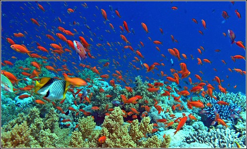 more red fish in the red sea