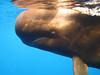 pilot whale 3