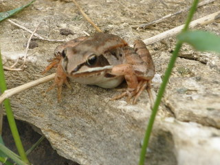 Wood Frog the Girls Captured
