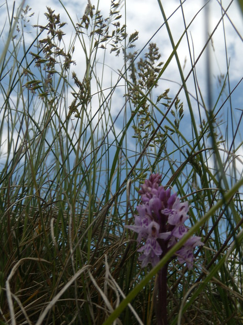 Orchid in grass