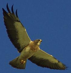 falcon(0.0), animal(1.0), hawk(1.0), bird of prey(1.0), eagle(1.0), wing(1.0), fauna(1.0), buzzard(1.0), bald eagle(1.0), accipitriformes(1.0), kite(1.0), beak(1.0), bird(1.0),