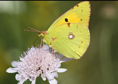 nectar(0.0), leaf(0.0), plant stem(0.0), arthropod(1.0), pollinator(1.0), animal(1.0), moths and butterflies(1.0), butterfly(1.0), flower(1.0), yellow(1.0), nature(1.0), invertebrate(1.0), macro photography(1.0), flora(1.0), fauna(1.0), cabbage butterfly(1.0), close-up(1.0), petal(1.0),